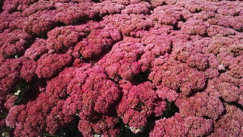 Plantas Perennes & amp; Las mejores selecciones para su jardín de otoño más colorido - Studley's Flower Gardens | Flores, jardinería y paisajismo