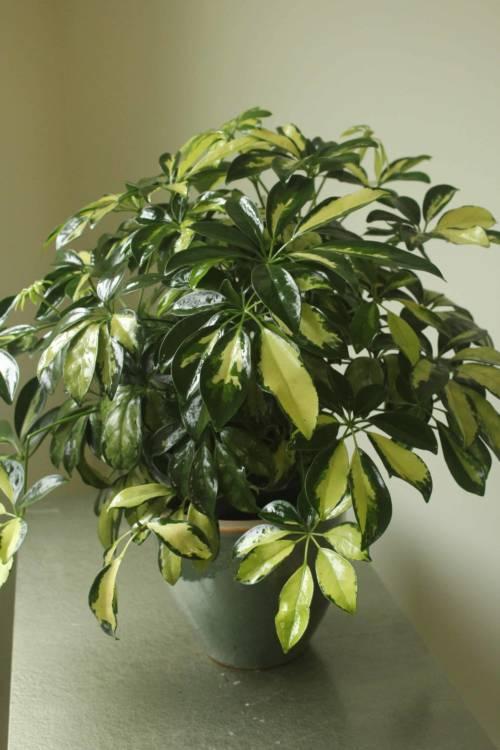 schefflera green plant