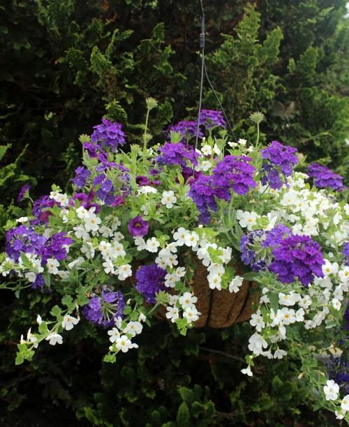 Flowering Hanging Basket