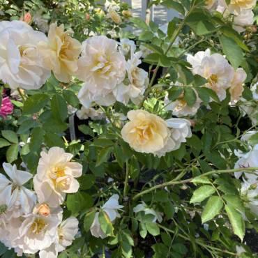 The Fragrant Garden | Backyard Aromatherapy