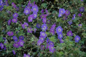 blue flowers of Rozanne cranesbill