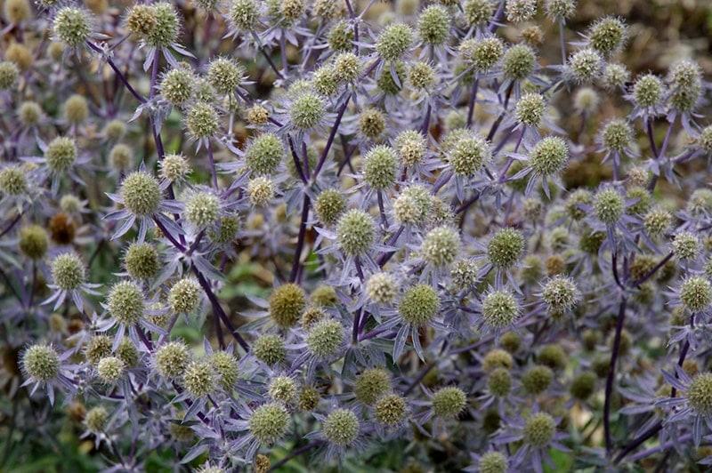 Summer Blues | Blue Flowers For The Garden
